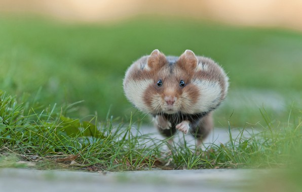 Picture grass, hamster, the race, rodent, cheeks
