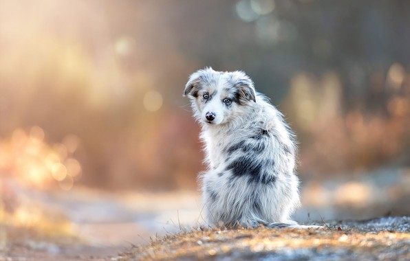 Picture autumn, grass, look, light, snow, nature, pose, glare, back, dog, baby, puppy, face, sitting, bokeh, ...
