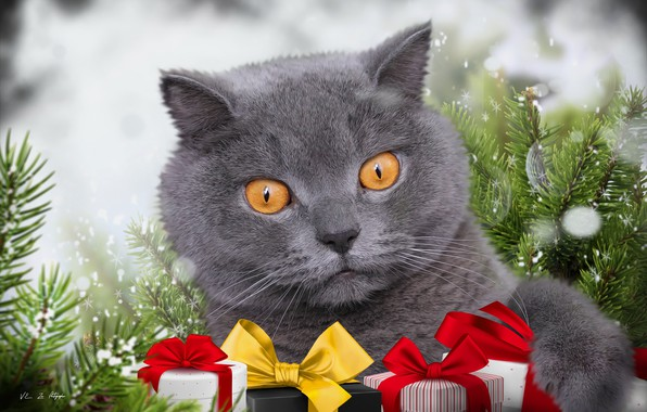 Picture cat, background, spruce, gifts, British