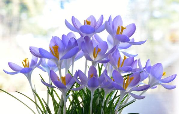 Picture background, crocuses, saffron