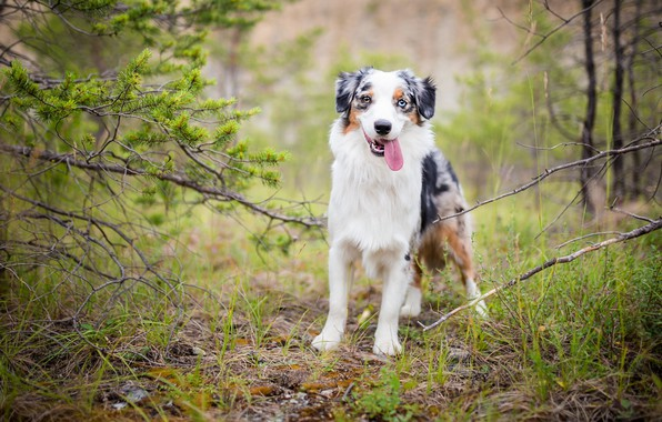 Picture greens, forest, language, grass, look, face, branches, nature, pose, green, background, glade, portrait, dog, is, …