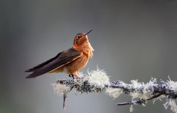Picture bird, Hummingbird, Pink sunbeam