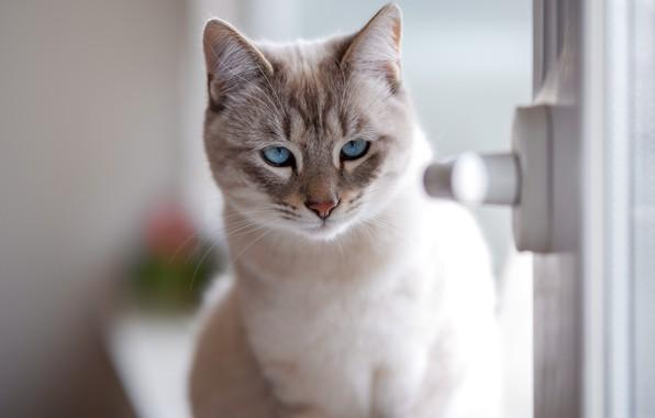 Picture cat, look, muzzle, blue eyes, cat