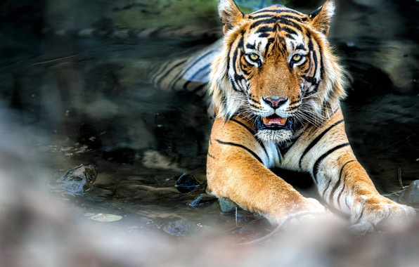 Picture tiger, water, feline