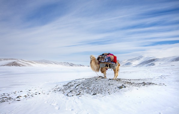 Picture Winter, Mongolia, Camel, Migration