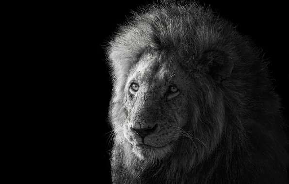 Picture Leo, the king of beasts, Lion, king of the animals, James Cai