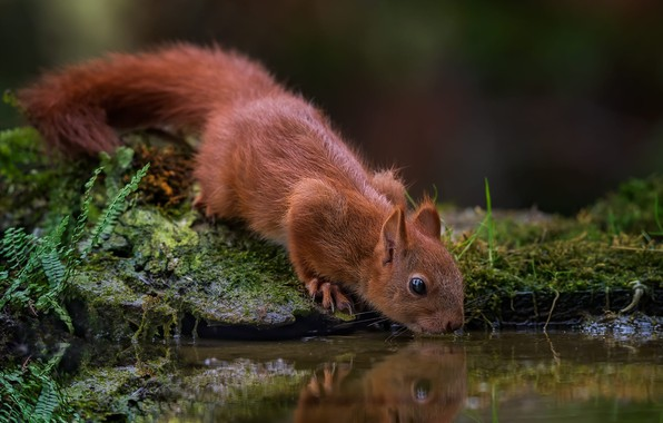 Picture water, nature, reflection, animal, moss, protein, drink, pond, animal, rodent, Tamas Hauk