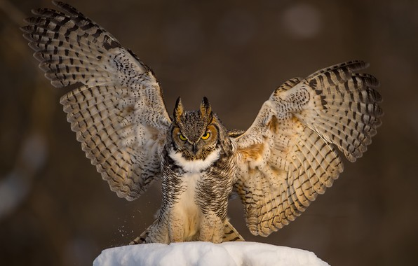 Picture snow, background, owl, bird, wings, Owl