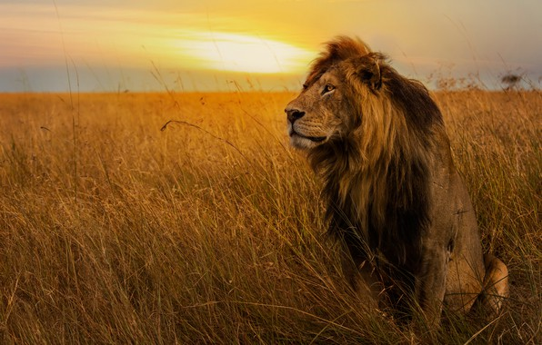 Picture field, the sky, grass, look, sunset, pose, Leo, mane, the king of beasts, sitting, wild ...