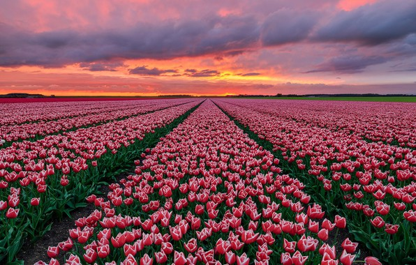 Picture field, sunset, tulips, Holland