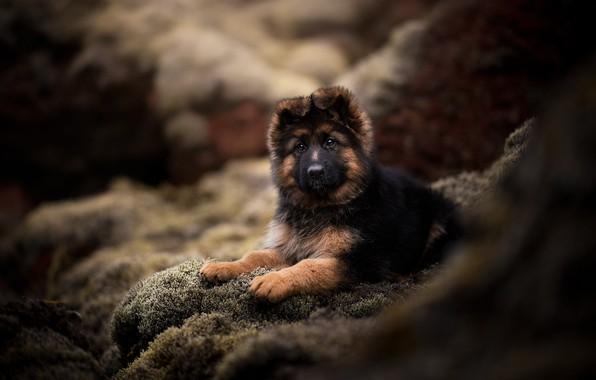 Picture look, dog, puppy, bokeh, doggie, German shepherd
