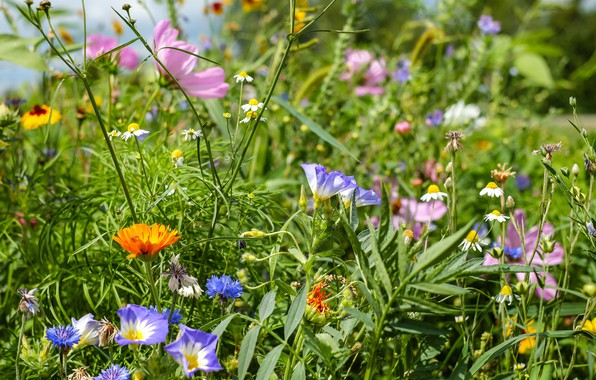 Picture summer, grass, flowers, meadow