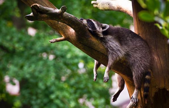 Picture greens, pose, tree, stay, foliage, sleep, legs, branch, hung, sleeping, raccoon, lies, bitches