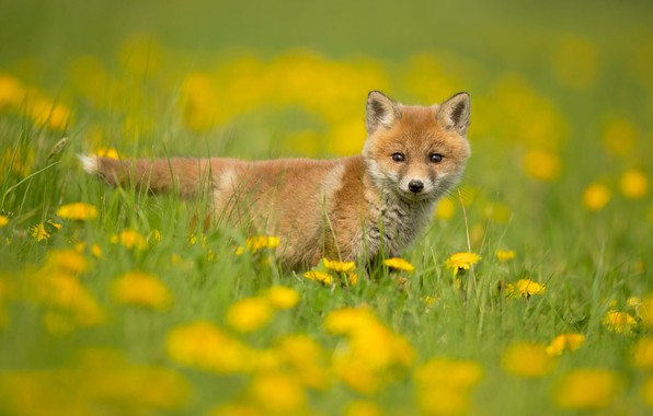 Picture greens, grass, look, flowers, nature, pose, background, glade, spring, yellow, baby, Fox, dandelions, lawn, Fox, …