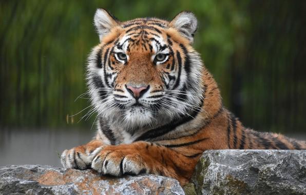 Picture look, face, tiger, stones, portrait, predator, wild cat