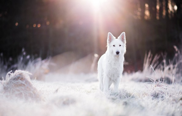 Picture winter, frost, forest, grass, light, dog, bokeh, Swiss shepherd dog