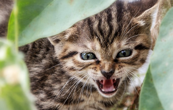 Picture leaves, muzzle, kitty, aggressive