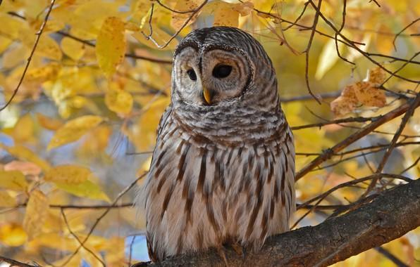 Picture autumn, leaves, branches, owl, bird, foliage, yellow, owl, motley