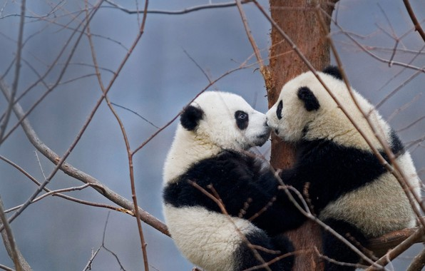 Picture China, bears, reserve, the giant Panda, Wenchuan-Oolong