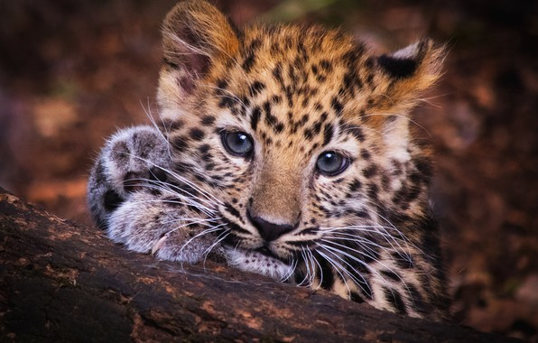 Picture eyes, look, face, kitty, background, portrait, paws, baby, leopard, log, kitty, cub, the leopard baby, …
