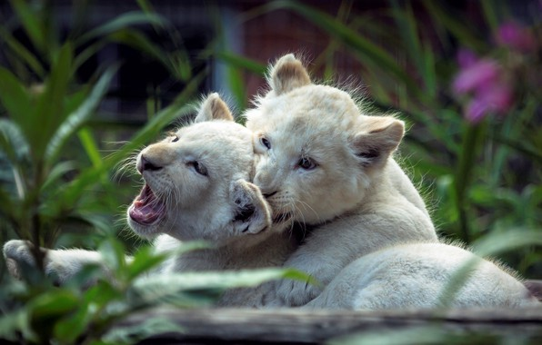 Picture cats, pair, kittens, white, the cubs, lion, two