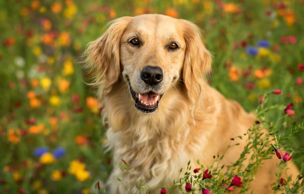 Picture look, face, flowers, portrait, dog, bokeh, Golden Retriever, Golden Retriever