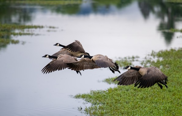 Picture flight, birds, duck, pack, pond, geese, fly, a flock of birds, over the water, flying, …
