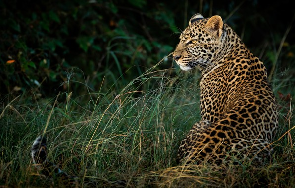 Picture grass, look, nature, the dark background, leopard, profile, sitting