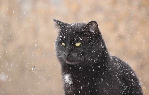 Picture winter, cat, look, snow, background