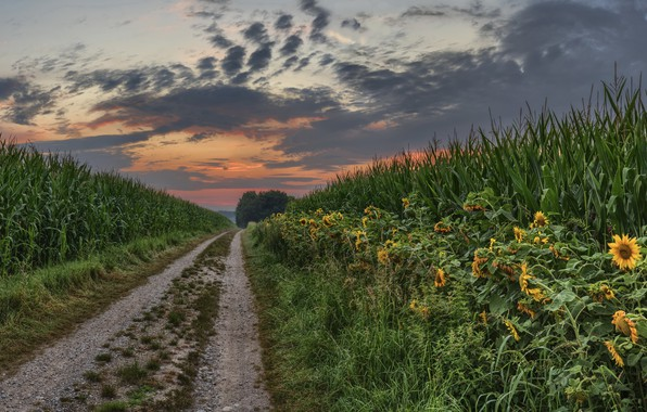 Picture summer, sunset, nature, sunflower, corn