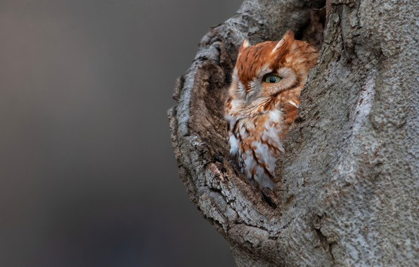 Picture look, tree, owl, bird, grey background, owl, the hollow