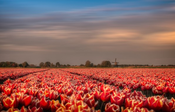 Picture field, flowers, spring, mill, tulips, red, Holland, plantation, wind, Tulip
