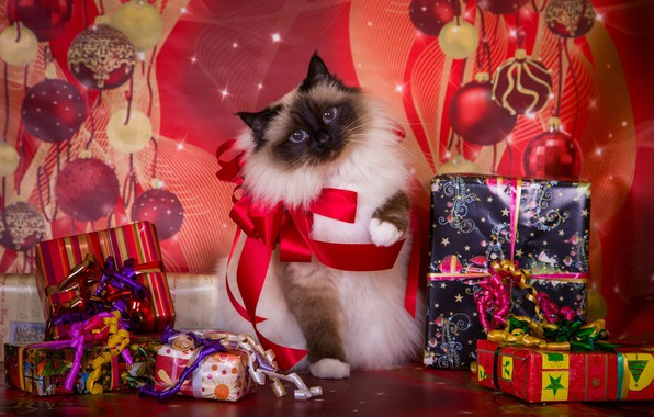 Picture cat, background, holiday, new year, Christmas, gifts, bows, box, fluffy, Siamese, color-point, ragdoll
