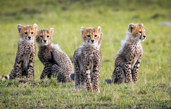 Picture wild cats, cheetahs, cubs