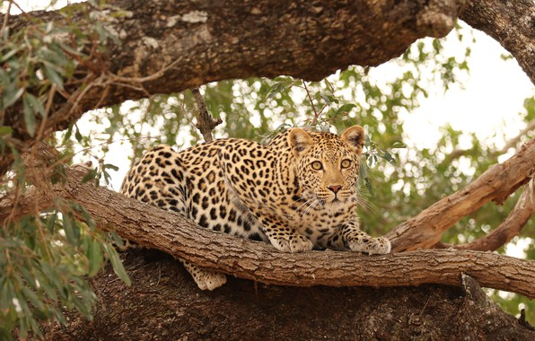 Picture cat, nature, tree, predator, leopard