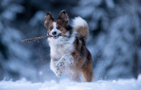 Picture winter, snow, dog, running, walk, stick, bokeh