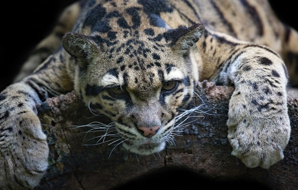Picture face, stay, paws, wild cat, Clouded leopard
