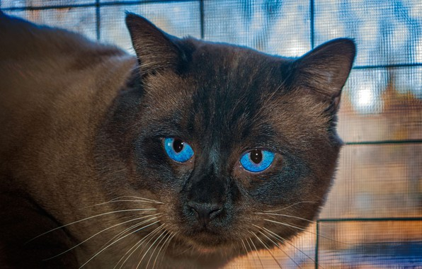 Picture cat, cat, mustache, face, close-up, blue eyes, bokeh