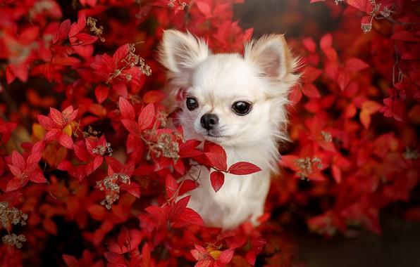 Picture look, dog, face, doggie, Chihuahua, dog, Svetlana Pisareva