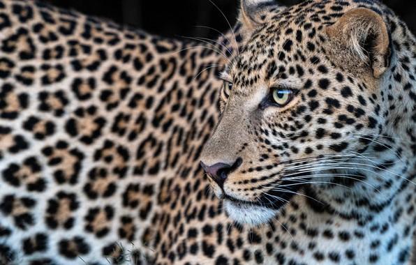 Picture face, leopard, wild cat