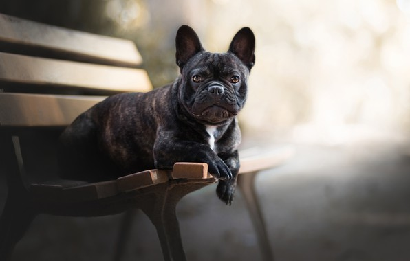 Picture look, face, dog, bench, bokeh, French bulldog