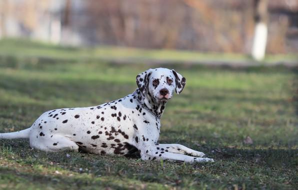 Picture background, each, dog, Dalmatians
