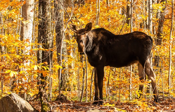 Picture autumn, forest, look, face, light, trees, branches, pose, thickets, foliage, yellow, moose, Golden autumn