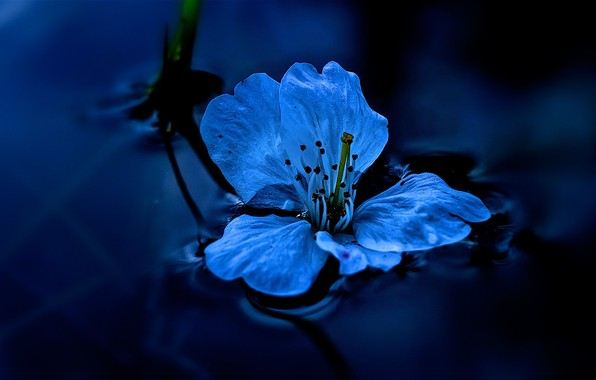 Picture flower, water, macro, photo