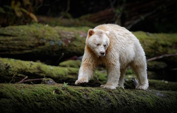 Picture moss, bear, logs, Chermozsky bear