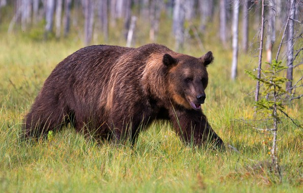 Picture forest, summer, grass, look, trees, nature, pose, bear, bear, mouth, walk, brown