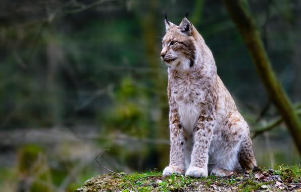 Picture lynx, wild cat, bokeh