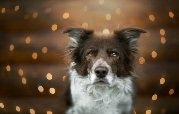Picture look, face, glare, portrait, dog, bokeh, The border collie