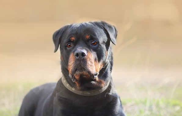 Picture look, background, each, Rottweiler