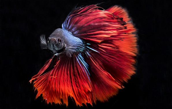 Wallpaper Colors Red Blue Fish Black Background Betta